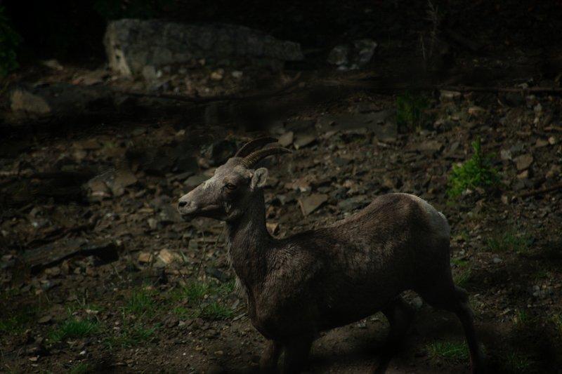 Baby Big Horn Sheep
